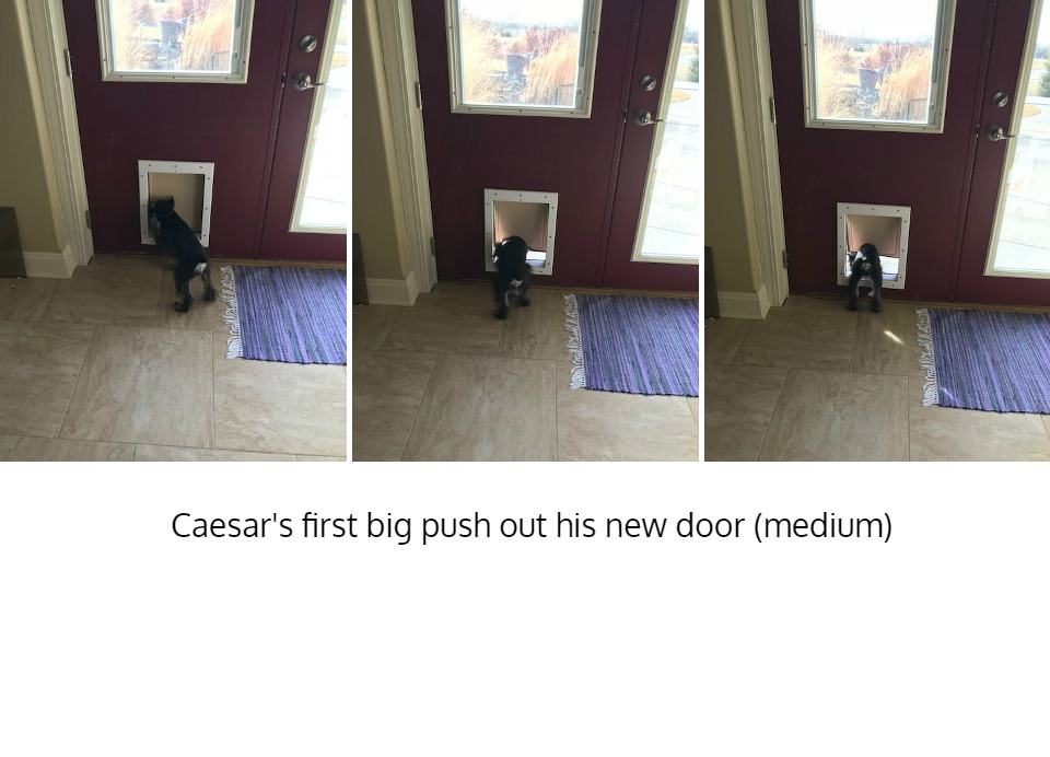 Caesar the dog using medium Freedom Pet Pass pet door