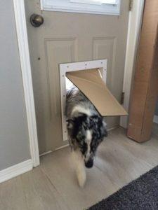 Border collie using pet door